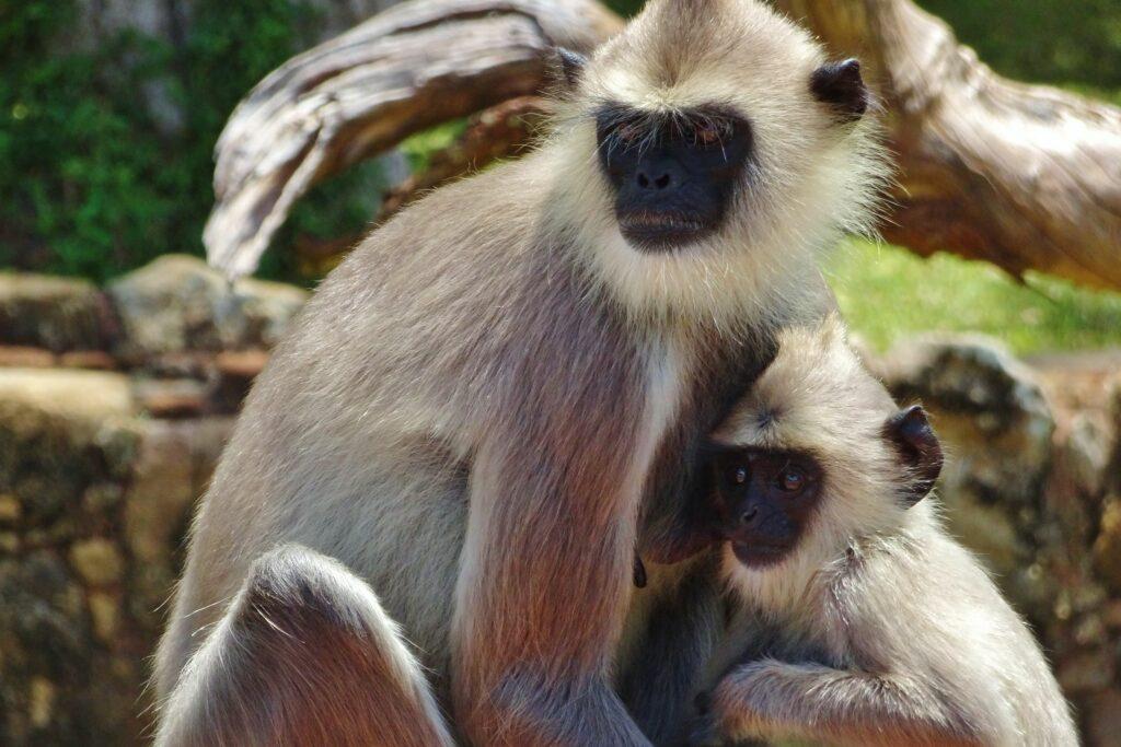 Tijdens het backpacken in Sri Lanka komen we deze langoers tegen.