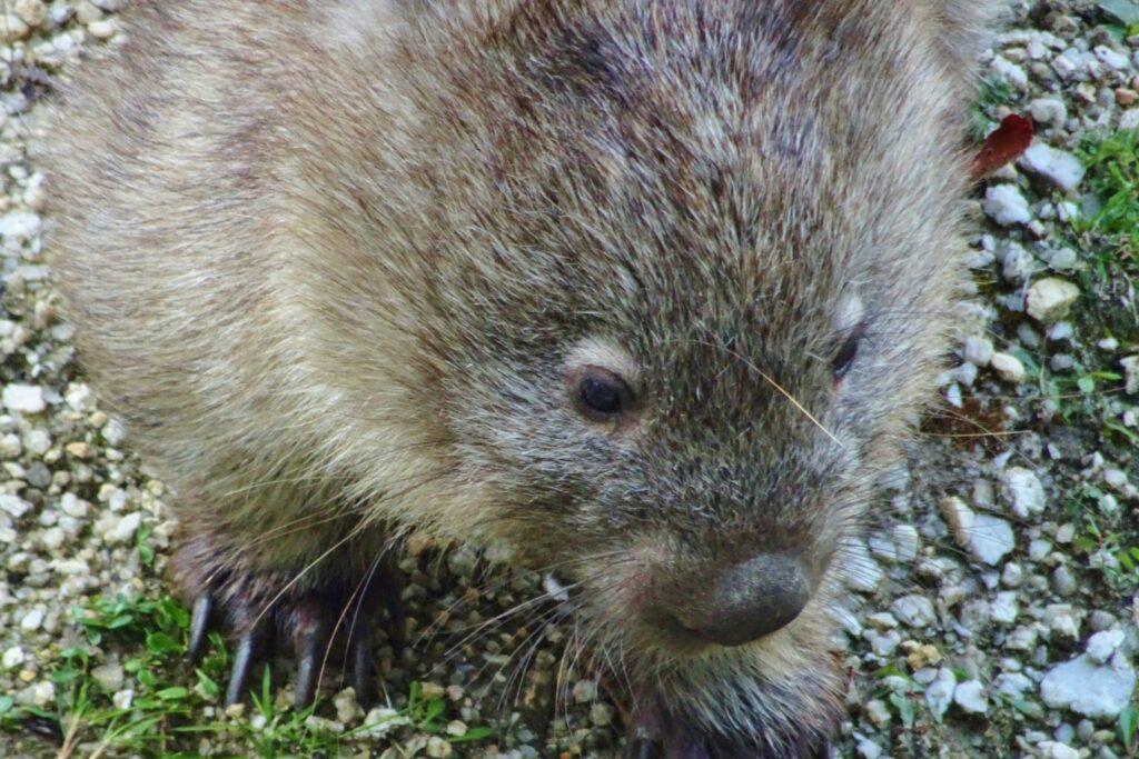 Een wombat gespot tijdens het backpacken in Melbourne.