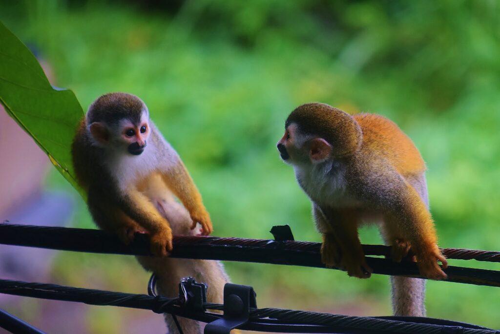 Twee apen op een kabel in Santa Elena vlakbij Monteverde