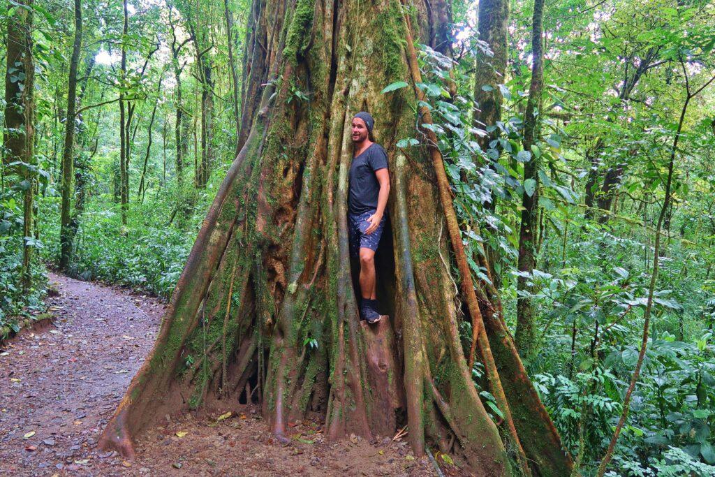 Gigantische boom Costa Rica Oerwoud
