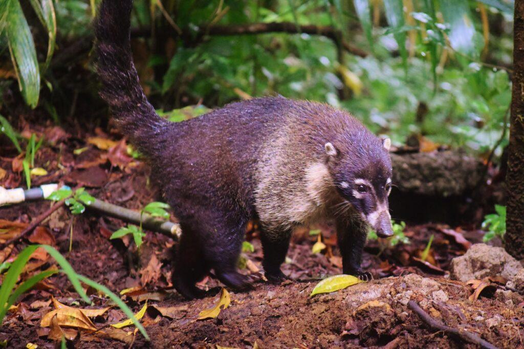 Neusbeer Coati in de jungle van Monteverde Costa Rica
