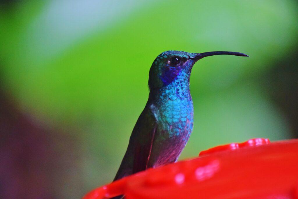 Kolibrie Costa Rica