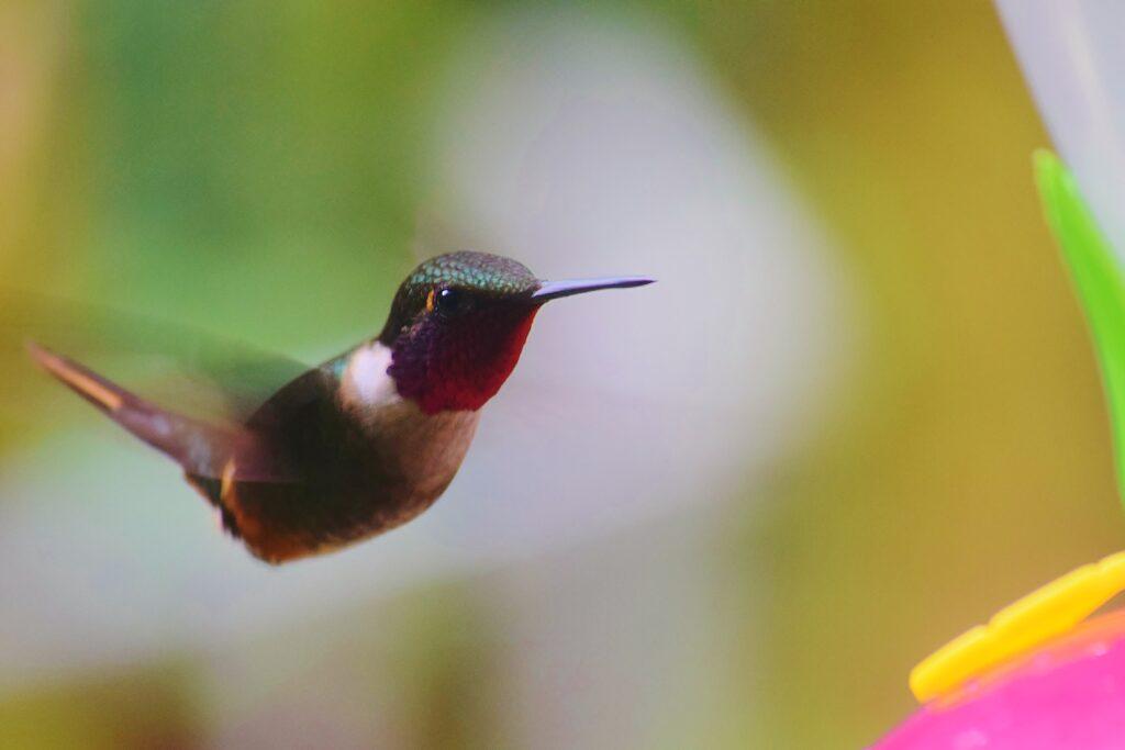 Een kolibrie vliegt in Monteverde Costa Rica