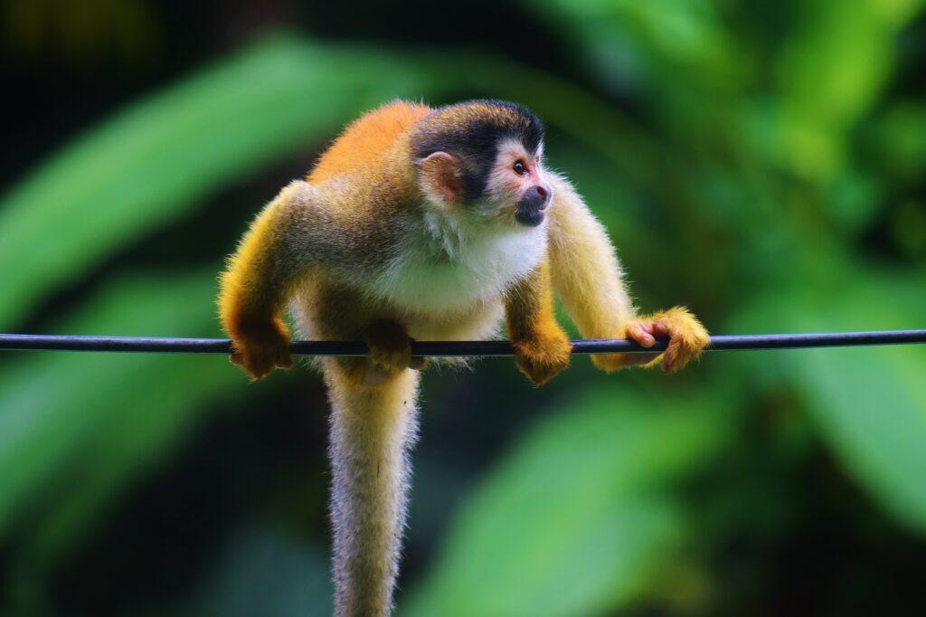 Doodshoofdaapje in Santa Elena Costa Rica bij Monteverde